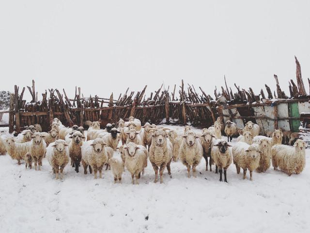 Snowy Sheep Stare - fotokunst von Kevin Russ