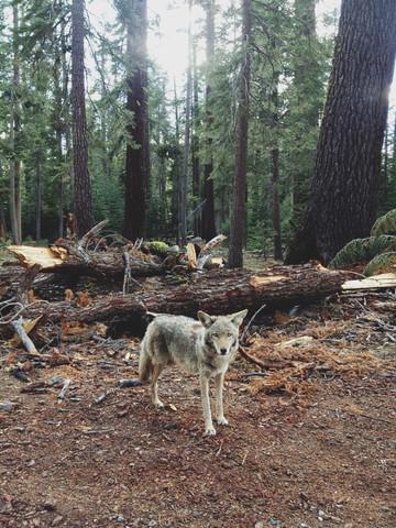 Injured Coyote - fotokunst von Kevin Russ