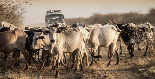 Rindverkehr - fotokunst von Ulrich Kleiner