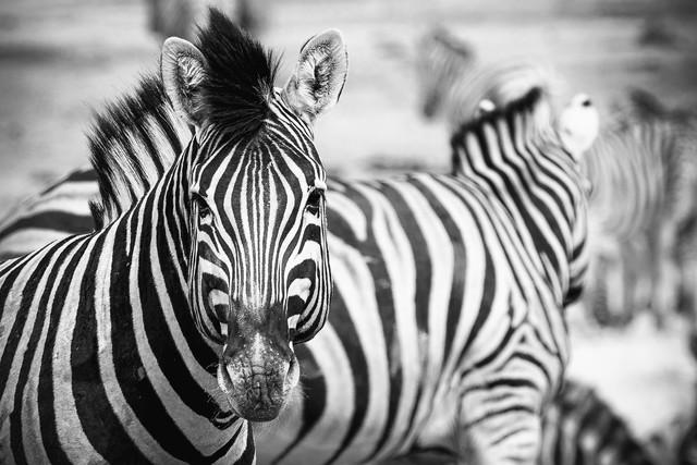 Zebra Etosha National Park Namibia - fotokunst von Dennis Wehrmann