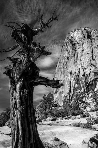 Old Tree - Yosemite National Park (USA) - fotokunst von Jörg Faißt