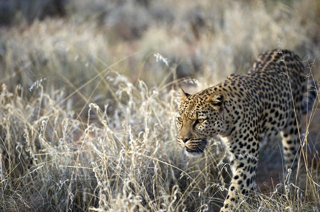 Leopard in Hammerstein, Namibia - fotokunst von Norbert Gräf