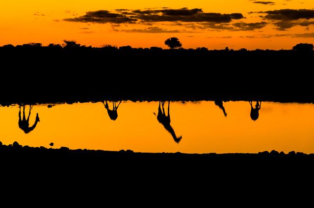 Giraffen am Wasser – Spiegelungen am Abend - fotokunst von Ralf Germer