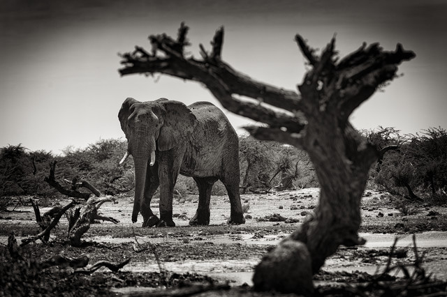 Elefant at Third bridge camp in Botsuana - fotokunst von Franzel Drepper