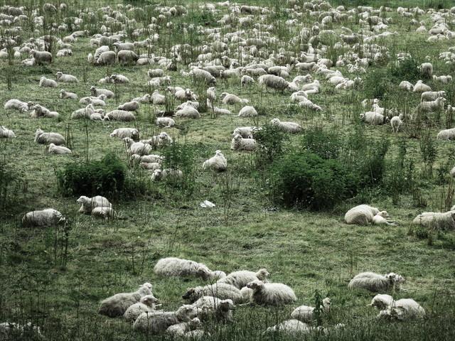 sheep - fotokunst von Anuschka Wenzlawski