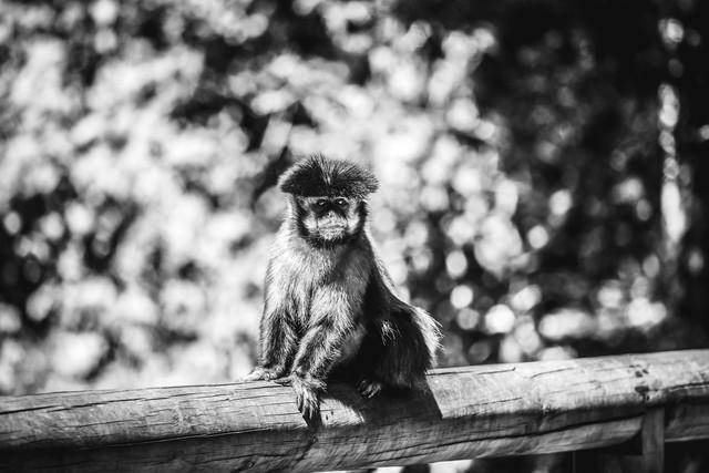 Affe - fotokunst von Roman Hohenberg