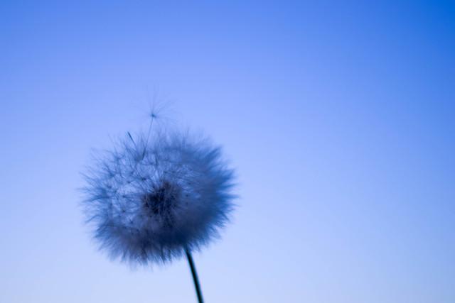 AoiDandelion - fotokunst von Lucia Raies