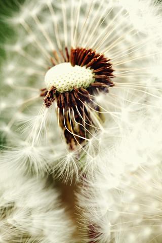 Pusteblume - fotokunst von Falko Follert
