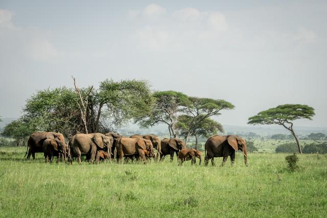 Elefanten im Tarangire-Nationalpark in Tansania - fotokunst von David Grigo