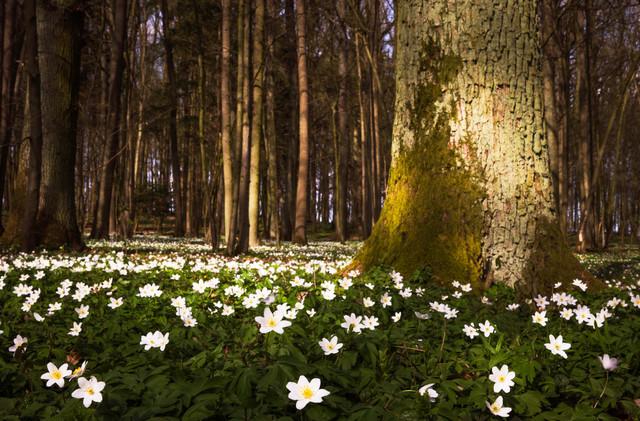 Buschwindröschen - fotokunst von Heiko Gerlicher
