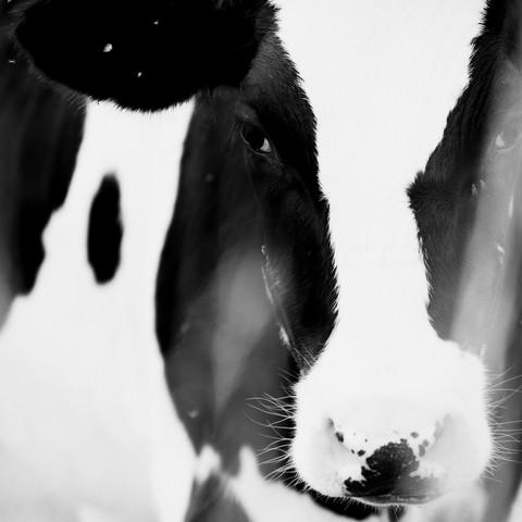 Kuh im Quadrat - fotokunst von Nadja Jacke