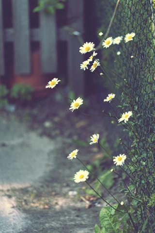 Margeriten am Gartenzaun - fotokunst von Nadja Jacke