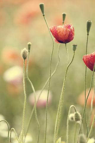 Mohnblumen im Sommer - fotokunst von Nadja Jacke