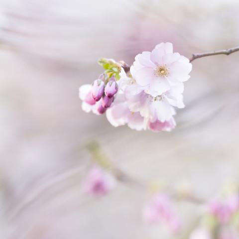zarte Kirschblüten im Frühling - fotokunst von Nadja Jacke