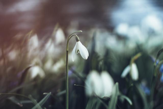 Schneeglöckchen auf der Schneeglöckchenwiese - fotokunst von Nadja Jacke