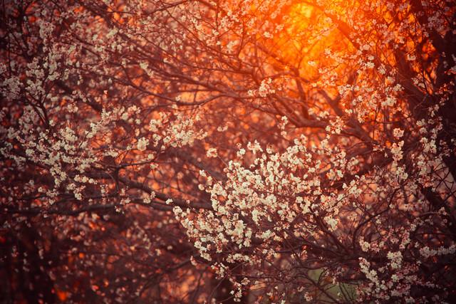blooming tree and sun flare - fotokunst von Juvenal Manfrin