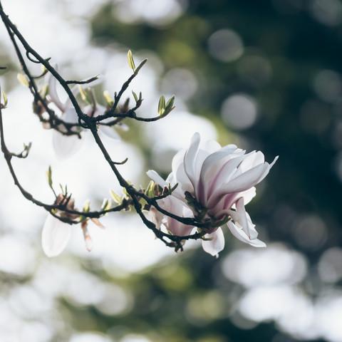 Zauberhafte Magnolienblüten - fotokunst von Nadja Jacke