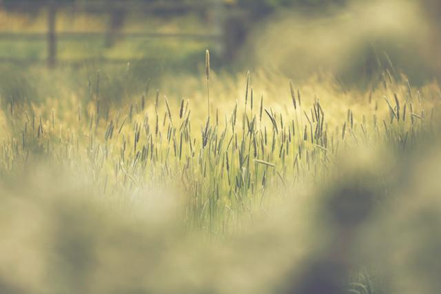 Gras in der Sommersonne - fotokunst von Nadja Jacke