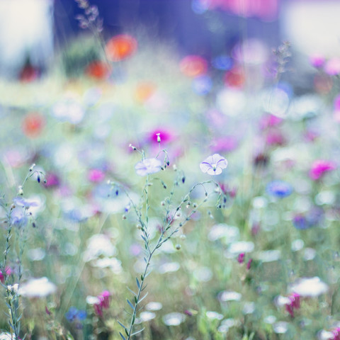Wunderschöner Flachs in Sommerblumenwiese - fotokunst von Nadja Jacke