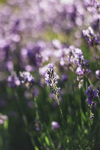 Duftender Lavendel in der Sommersonne - fotokunst von Nadja Jacke
