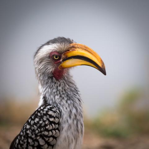 Hornbill Krüger National Park South Africa - fotokunst von Dennis Wehrmann
