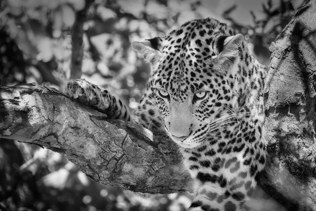 Leopard im Chobe National Park, Botswana - fotokunst von Dennis Wehrmann