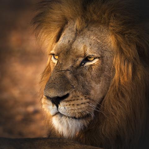 Der König der Löwen - fotokunst von Dennis Wehrmann