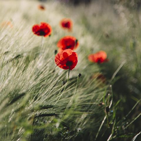 Mohnblumen im Sonnenlicht - fotokunst von Nadja Jacke