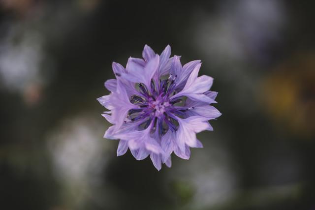 lila blühende Kornblume - fotokunst von Nadja Jacke
