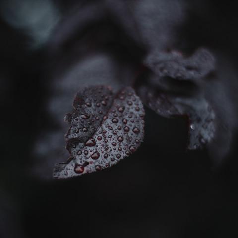 Laub der Zierkirsche im Regen mit Wassertropfen - fotokunst von Nadja Jacke