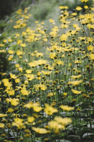 Gelbe Blumen in einem Blumenfeld - fotokunst von Nadja Jacke