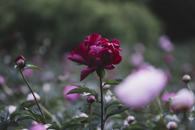 Dunkelrote Pfingtsrose an einem Sommertag - fotokunst von Nadja Jacke