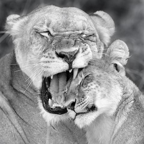 Mutterliebe| khwai concession moremi game reserve - fotokunst von Dennis Wehrmann