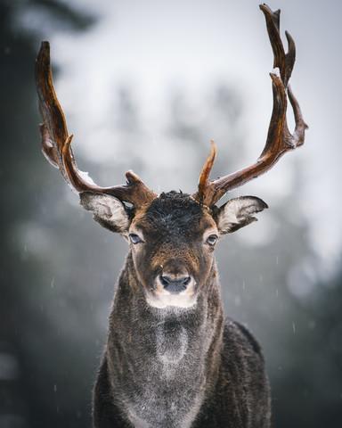 Majestätischer Hirsch III - fotokunst von André Alexander