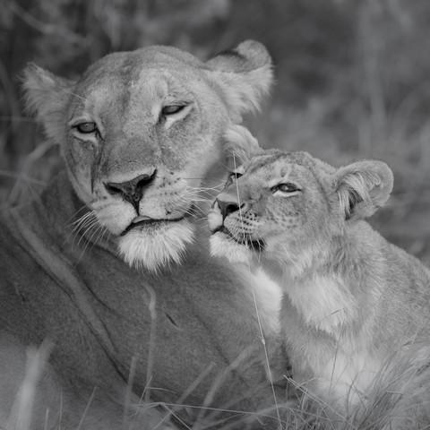 Löwenmutter mit Jundem - fotokunst von Dennis Wehrmann