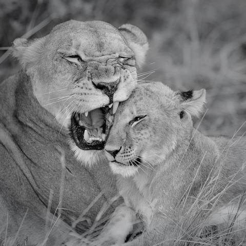 Löwenmutter mit Jungem - fotokunst von Dennis Wehrmann