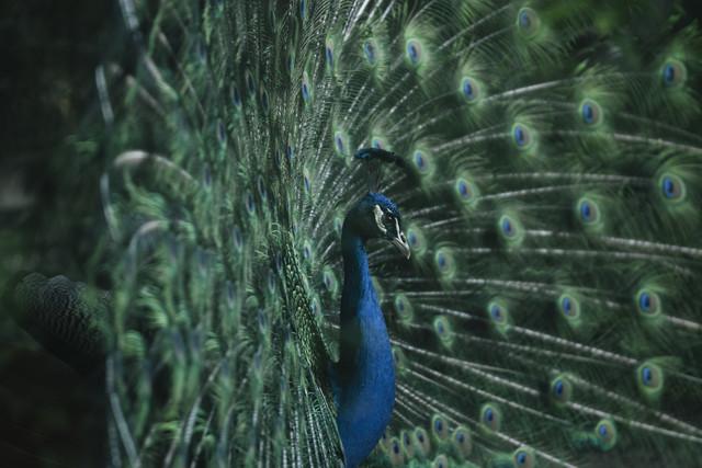 Blauer Pfau mit ausgebreiteter Federkrone - fotokunst von Nadja Jacke