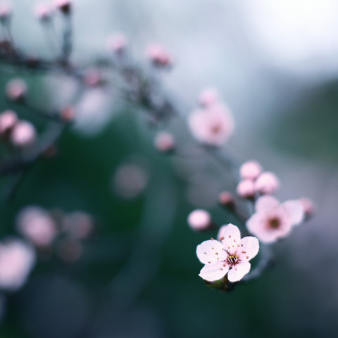 cherry blossom moments II - fotokunst von Steffi Louis