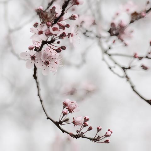 cherry blossom moments I - fotokunst von Steffi Louis
