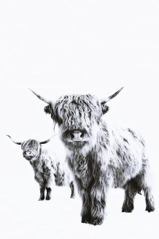 HIGHLAND COWS - fotokunst von Monika Strigel