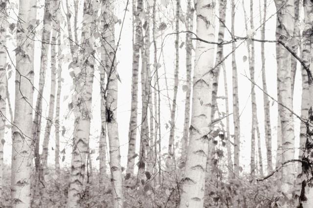 SILVER BIRCHES - fotokunst von Monika Strigel