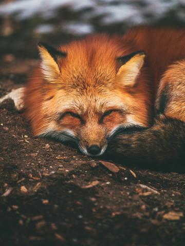 Sleeping Fox - fotokunst von Gergo Kazsimer
