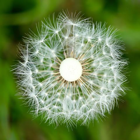Pusteblume im Quadrat - fotokunst von Doris Berlenbach-Schulz