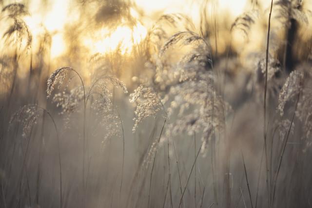 Schilfgras im Sonnenaufgang - fotokunst von Nadja Jacke