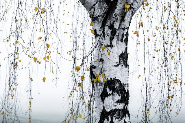 Birke 1 - fotokunst von Mareike Böhmer