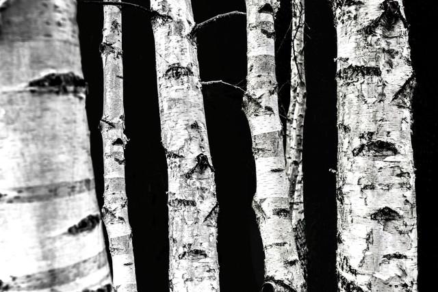 Birken - fotokunst von Mareike Böhmer