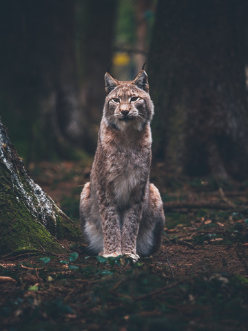 Posing Lynx - fotokunst von Gergo Kazsimer