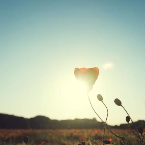 Mohnblüte im Sonnenuntergang - fotokunst von Nadja Jacke
