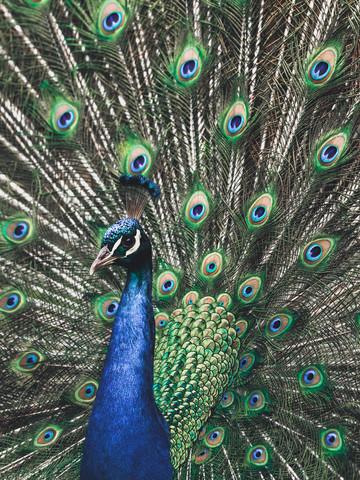 Peafowl Portrait - fotokunst von Gergo Kazsimer