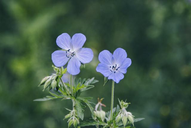 Storchschnabel Geranium Blüten - fotokunst von Nadja Jacke